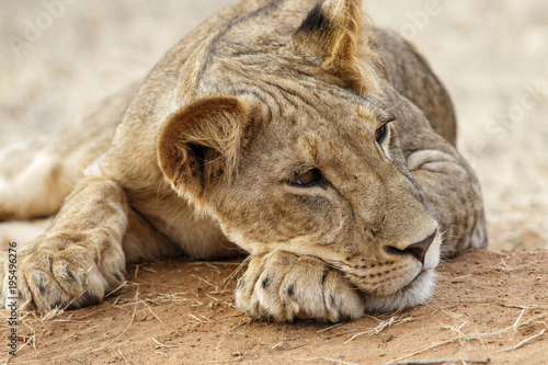 Lazy lion resting in Samburu National Park in the north of Kenya