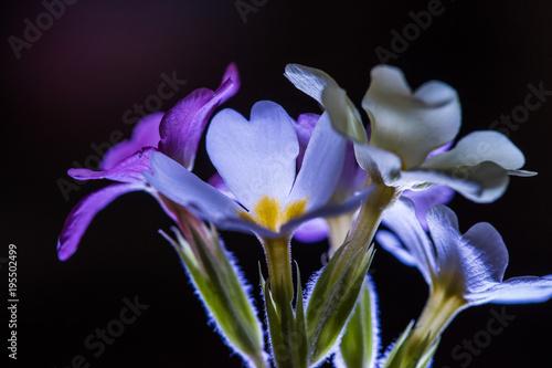 Fotobehang Iris spring flowers close up