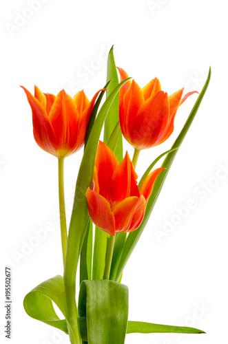 Lilienblütige orange Tulpen