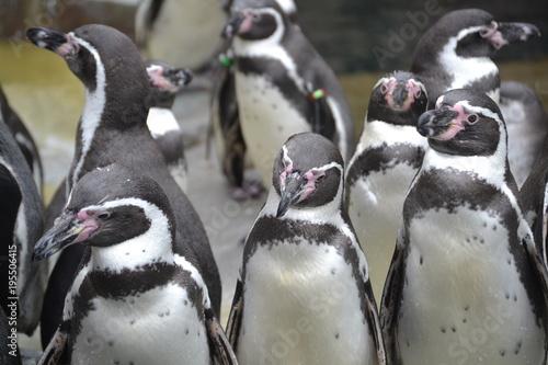 Fotobehang Pinguin Pinguine