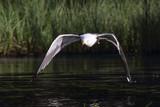 Lesser Black-backed Gull - 195518690