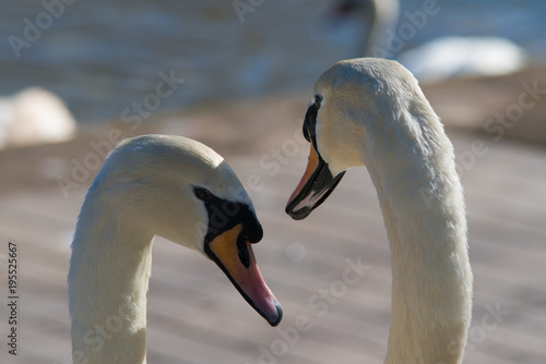 Fotobehang Zwaan tender close up of pair of mating mute swans symbolising love