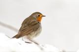 Petirrojo en su posadero sobre la nieve busca alimento