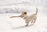 Dog Jack Russel Terrier in the winter park siberia
