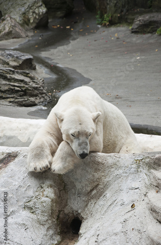 Aluminium Ijsbeer Polar bear in zoo