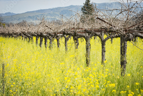Foto op Canvas Natuur Napa Valley mustard fields