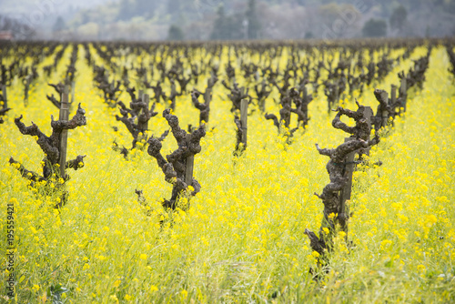 Plexiglas Geel Napa Valley mustard fields