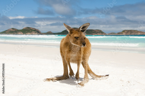 Foto Spatwand Kangoeroe Kangaroo on Lucky Bay - Cape Le Grand National Park - Australia