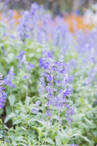 Fotobehang Lavendel Field of Blue salvia flowers.(selective focus)