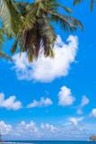 cocotier sur fond de ciel bleu outremer