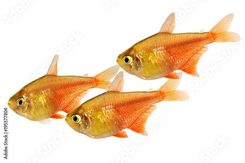 Swarm of Orange Red Flame Tetra Hyphessobrycon flammeus Rio tetra tropical aquarium fish