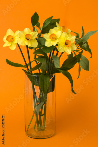 Bouquet of daffodils in a glass vase on an orange background