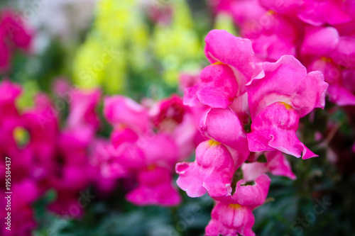 Plexiglas Roze closeup of colorful flowers from Israel