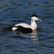 portrait male eider duck (somateria mollissima) swimming, blue water, sunshine