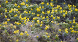 Winter aconite on the forest floor between leaves - 195596429