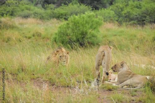 Fotobehang Lion lions resting after kill