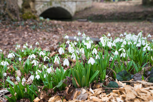 Fototapeta white snowdrop flowers in spring