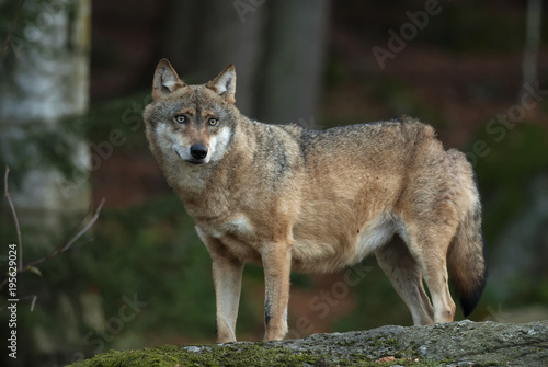 Aluminium Wolf Gray Wolf, Canis lupus, Bavarian forest, autumn forest, predator