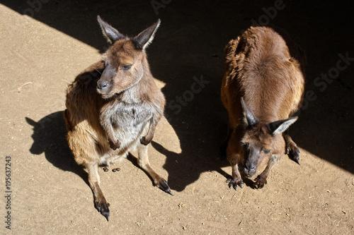 Plexiglas Kangoeroe Two kangaroos