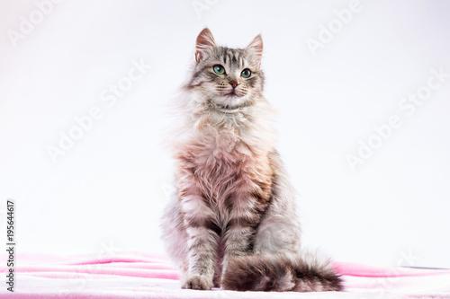 Fotobehang Kat Gatta dal pelo lungo seduta su una coperta rosa
