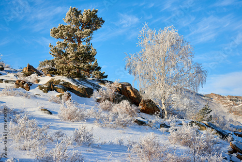 Keuken foto achterwand Blauwe hemel Birches and pines growing on rocks in winter. Hoarfrost on the tree.