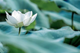 blooming white lotus flower