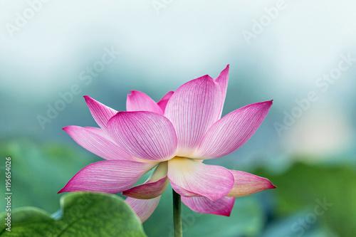 Wall mural blooming pink lotus flower