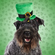 Kerry Blue Terrier Dog ready for St. Patrick's Day
