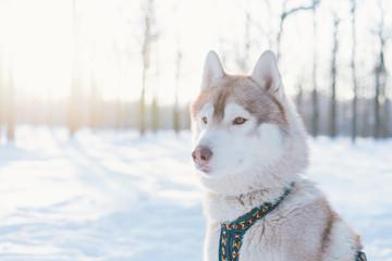 Siberian husky dog walks outdoors in the snow.