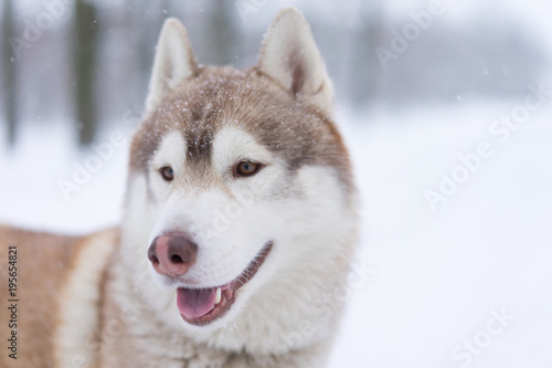 Siberian husky dog walks outdoors in the snow.