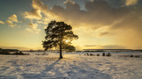 winter landscape with pine and snow-covered field at sunset, Russia, Ural, March - 195659002