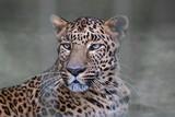 Fototapeta indischer Leopard