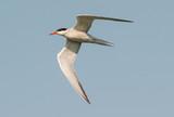 Common tern, Sterna hirundo, rybitwa rzeczna
