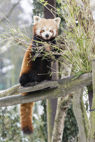 Fotobehang Panda Panda red eating bamboo leaves on a branch.