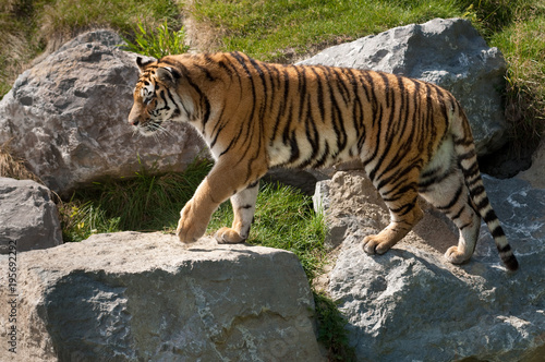 Aluminium Tijger Siberian Tiger