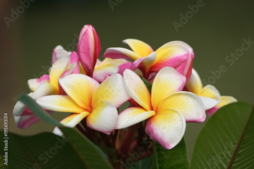Plexiglas Plumeria plumeria