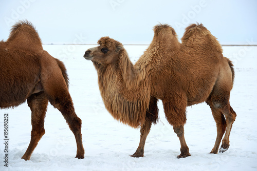 Fotobehang Kameel Bactrian camels (Camelus bactrianus) in winter. The Bactrian camel is a large, even-toed ungulate native to the steppes of Central Asia.