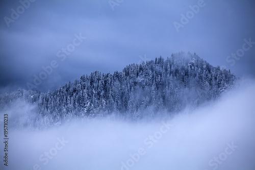 Śnieżne sosny we mgle