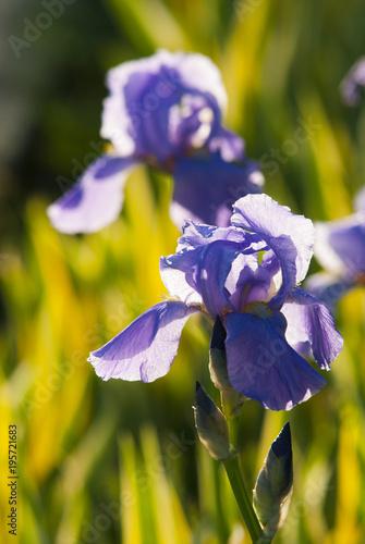 Fotobehang Iris blue and purple iris flowers blooming at sunset