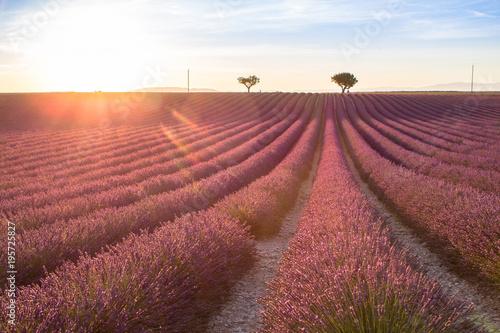 Fotobehang Lavendel Big lavender field on sunset