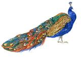 peacock watercolor illustration - 195726037