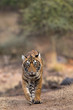 Royal Bengal Tiger From Ranthambore Tiger Reserve Rajasthan India