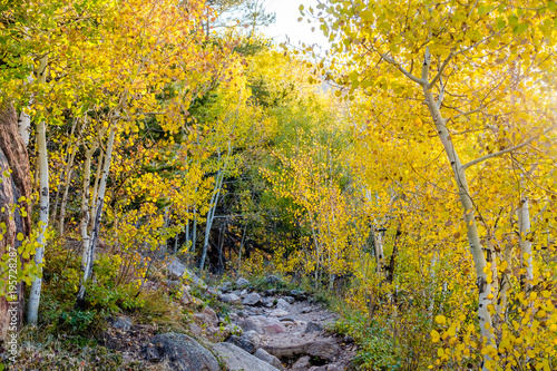 Foto op Canvas Weg in bos Aspen grove at autumn in Rocky Mountains