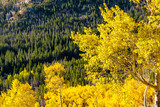 Aspen grove at autumn in Rocky Mountains - 195728417