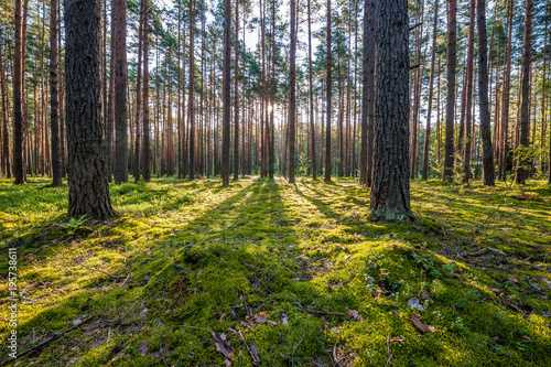 Fotobehang Zonsopgang Sunrise in pine forest