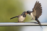 Swallow - sensitivity and delicacy when feeding offspring - 195742470