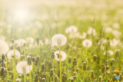 Field with white dandelions, a panoramic background of nature. Selective focus