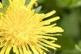 Dandelion blossom close up