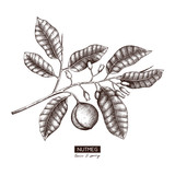 Botanical illustration of nutmeg tree on white background. Vector hand drawn spice plant sketch. Aromatic and tonic elements collection. - 195759421