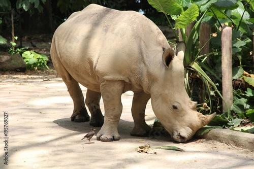 Wall mural rhinoceros